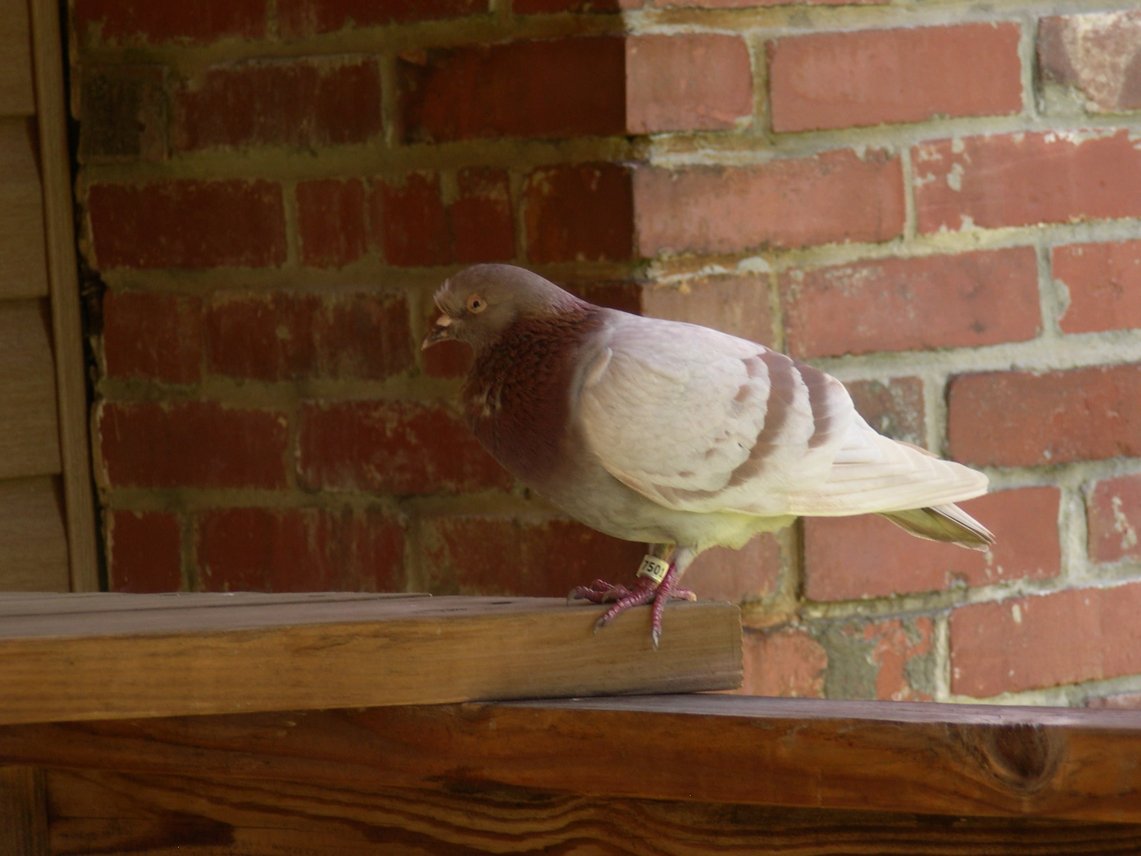 Pigeon with ID band