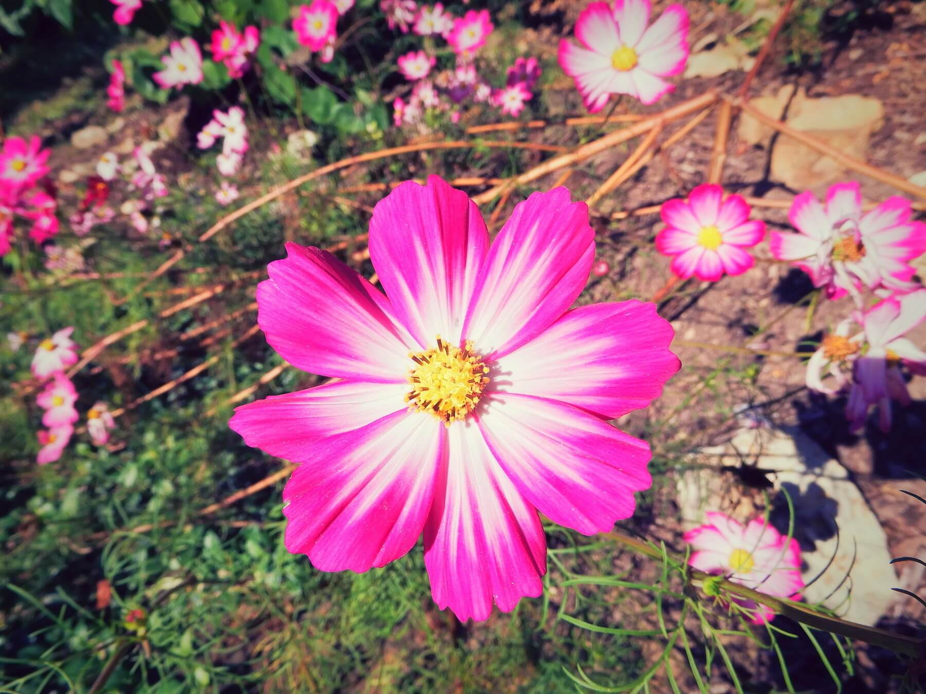 Cosmos in vibrant pink