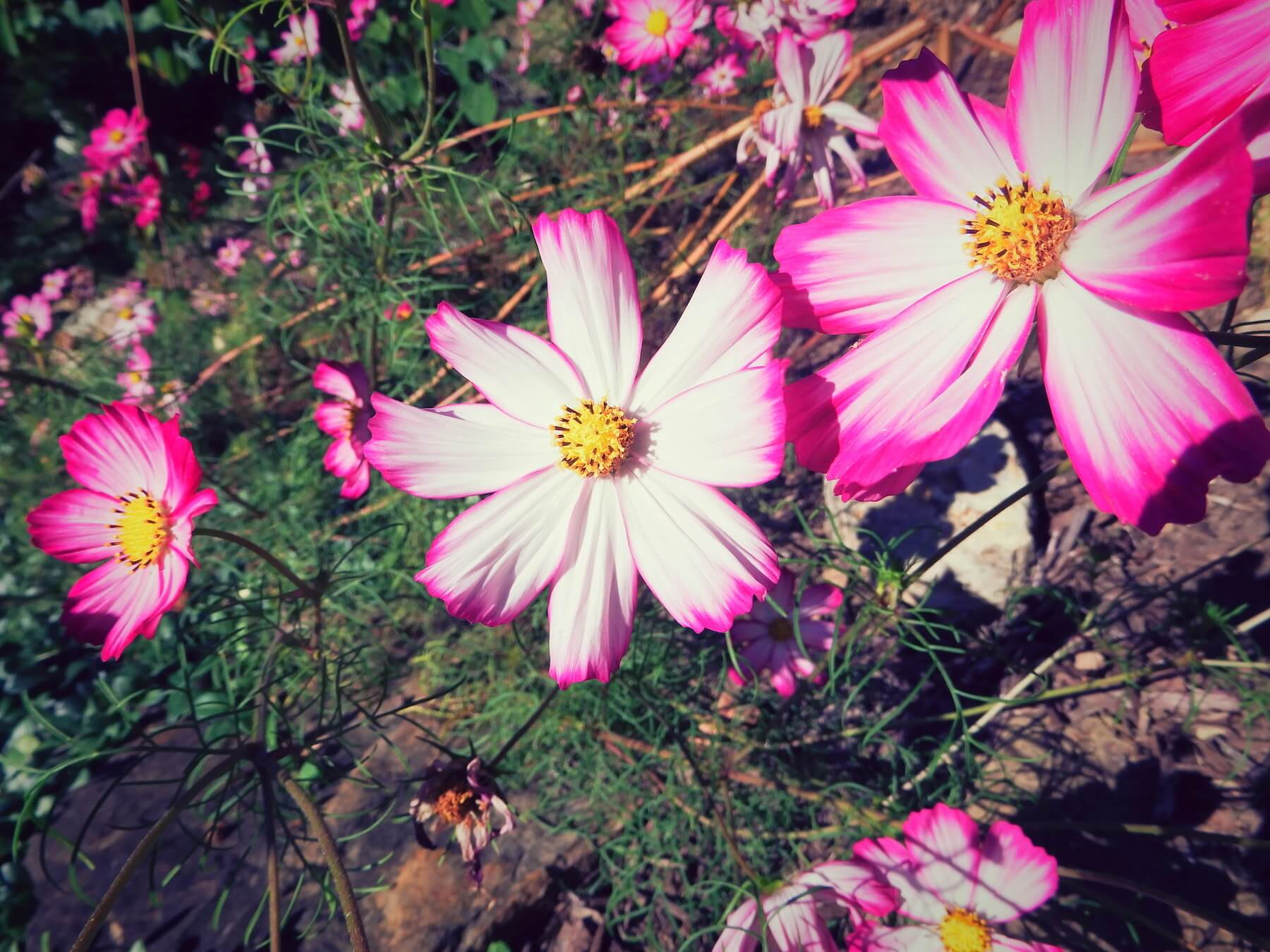 White cosmos tipped in pink