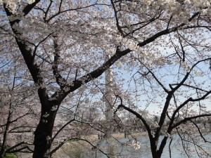 March Cherry Blossoms - Washington, DC