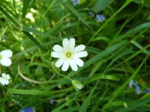 Tiny white flowers, Saundersfoot to Tenby
