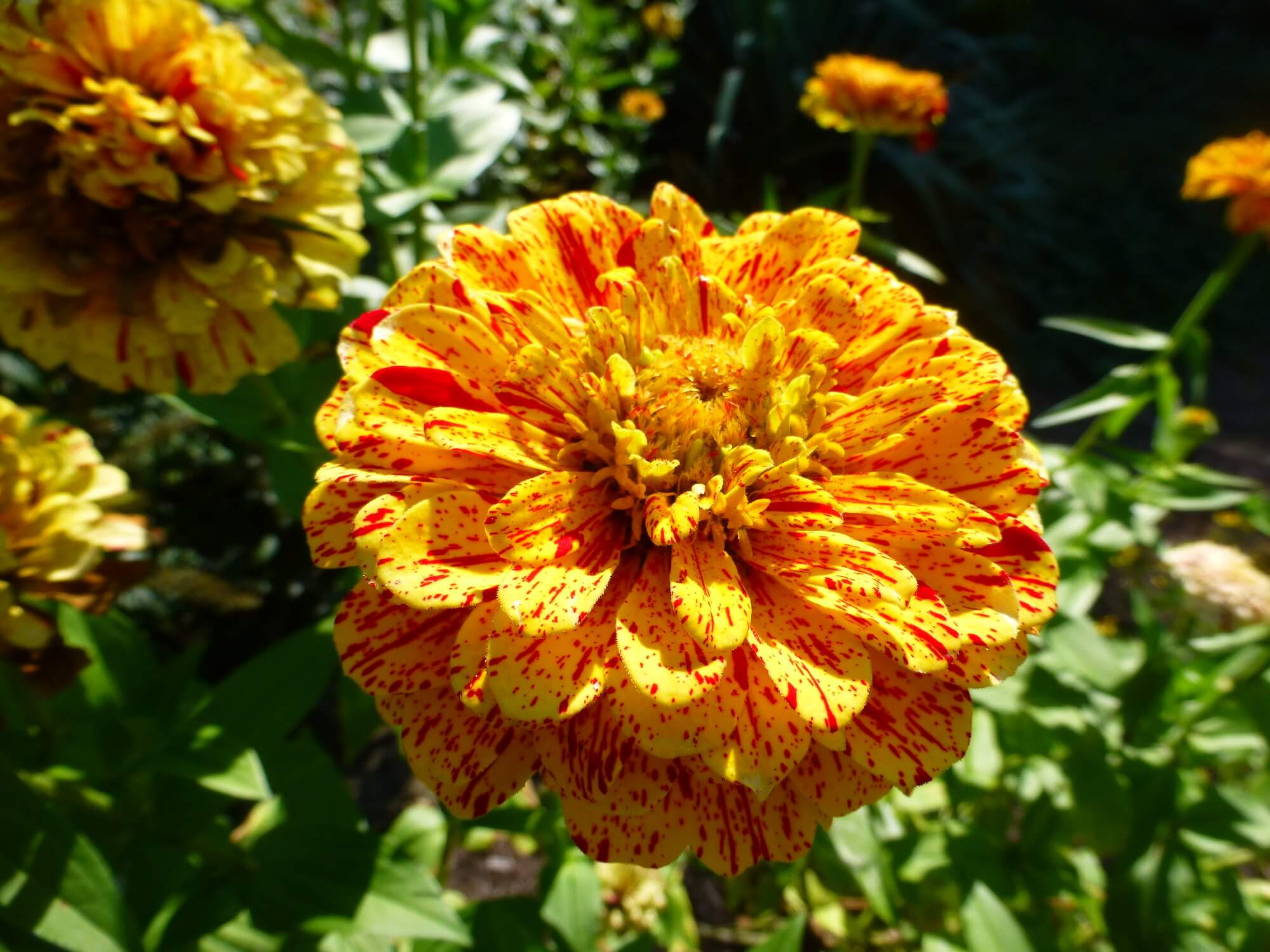 Orange and gold zinnia