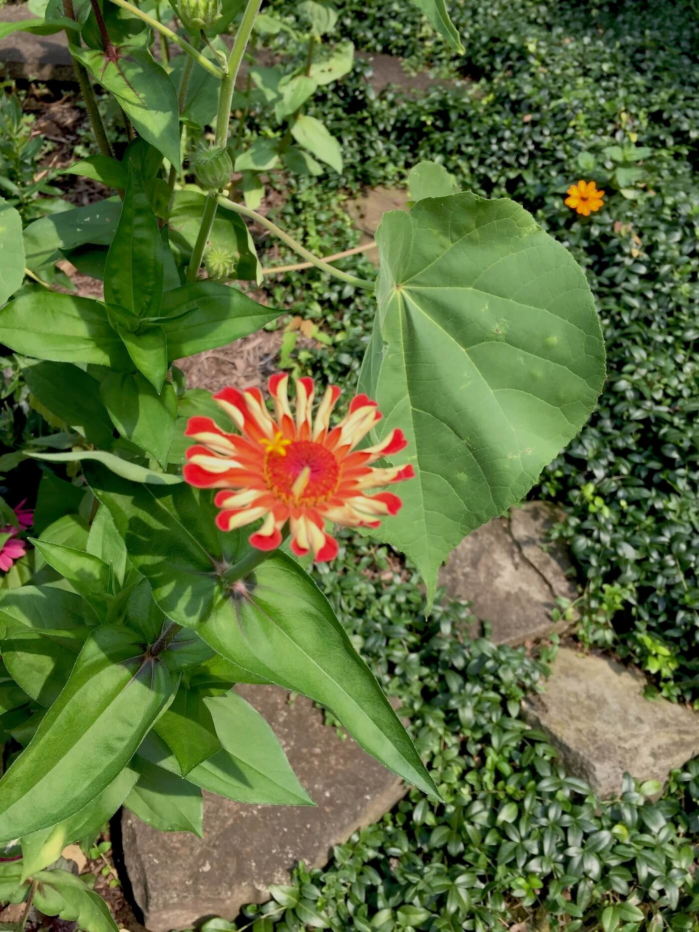 Zinnia flowers in multiple colors