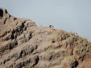 Mountain goats on Kauai